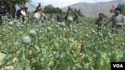 تیرکال په افغانستان کې پر ۳۲۸ زره هکتاره ځمکه کوکنار کرل شوي وو.