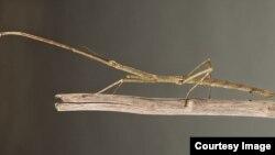 تاکنون بیش از ۳ هزار گونه مختلف از این حشرهای میلهای شناسایی شده است.