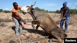FILE - Zimbabwean men attempt to get a malnourished cow on its feet in rural Masvingo, Jan. 21, 2016.