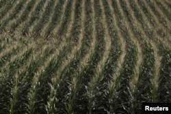 FILE - A cornfield is seen in DeWitt, Iowa, July 12, 2012.