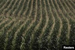 FILE - A cornfield is seen in DeWitt, Iowa, July 12, 2012.