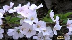 Місто вишневого цвіту