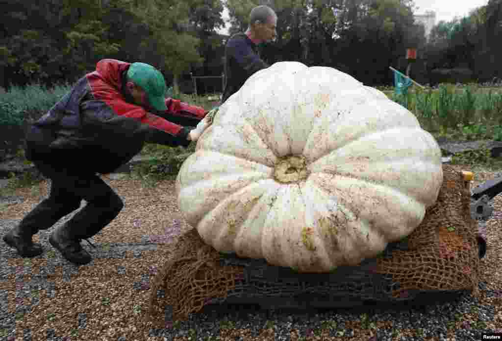 Men transport an Atlantic Giant Pumpkin, which was cultivated for about six months and currently weighs more than 430 kilograms (947.99 pounds), before its presentation at Moscow State University's Botanic Garden in Moscow, Russia, Sept. 5, 2017.