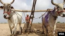 Lebih dari separuh lahan pertanian di India masih menggantungkan sistem pengairan kepada besarnya curah hujan di musim hujan (foto: dok).