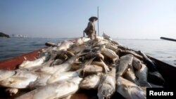 Một công nhân vệ sinh đang thu gom cá chết nổi trên mặt hồ Tây bị ô nhiễm, Hà Nội, Việt Nam, ngày 03 tháng 10 năm 2016.
