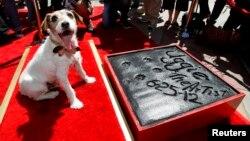 Uggie fue el primer perrito en dejar sus huellas impresas sobre la acera del Teatro Chino en Hollywood.