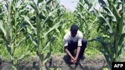 海地的农民在玉米地里劳作(档案照)