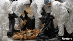 Health workers killed 17,000 chickens at a poultry market in Hong Kong in December after officials said a dead chicken tested positive for the deadly H5N1 avian influenza virus