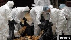香港2011年12月在一個批發市場撲殺1萬7千隻雞。(資料圖片)