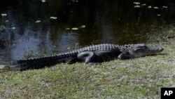 یک شاهد عینی گفت اندازه غیرمعمول تمساح باعث شد اول گمان کند که همه چیز یک شوخی است (عکس تزئینی است)