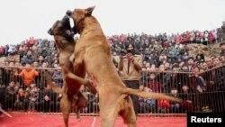 2015年春节中国山西运城村民观看犬王争霸赛