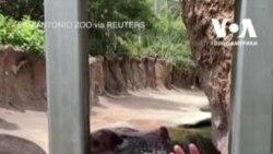 Як бегемот їсть кавун. Відео