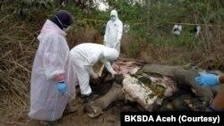 Tim dokter BKSDA Aceh saat melakukan bedah bangkai gajah Sumatra di Aceh Timur, Jumat (17/4). (Foto: Courtesy/BKSDA Aceh)
