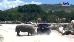 Meksika'da Hayvanat Bahçesi'nde Gergedan Cipi Önüne Takıp Kovaladı