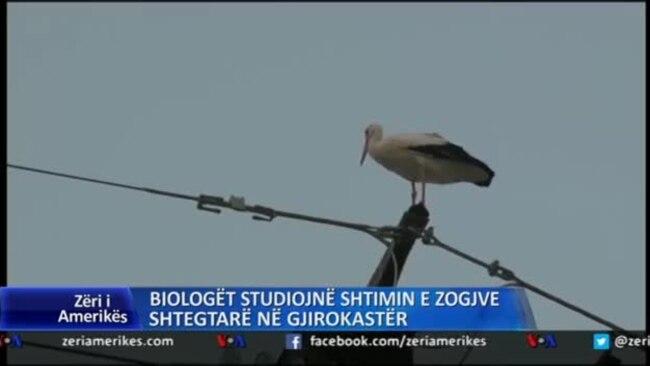 Shtimi i zogjve shtegëtarë në Gjirokastër