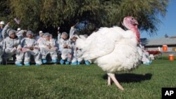 El pavo es la comida tradicional en el Día de Acción de Gracias, pero algunos, como este en Modesto, California, logran salvarse de la cena.