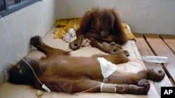 Sepasang orangutan dirawat di Pusat Orangutan Nyaru Menteng di Palangkaraya, Kalimantan Tengah. (Foto: Dok)