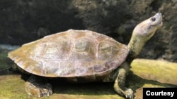 The turtle is known for its permanent smile ( Wildlife Conservation Society / Turtle Survival Alliance )