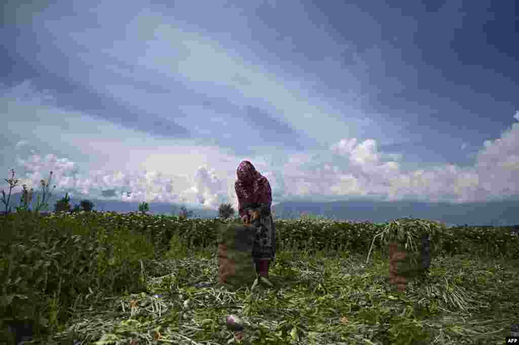 A farmer packs turnips in a field on the outskirts of Srinagar, India.