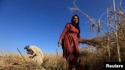گندم کے فصل کی کٹائی، فائل فوٹو