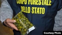 تصویر اینترپل از زیتون تقلبی. ماموران ایتالیایی ۸۵ تن زیتون رنگ آمیزی شده را کشف کردند.