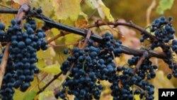 El estudio encontró que extractos de cuatro productos químicos naturales que se encuentran en las uvas moscatel, una variedad de uva nativa del sudeste de EE.UU. juegan un importante rol en el metabolismo de células grasas.