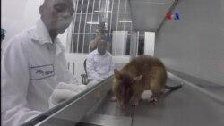 Ratas detectan tuberculosis