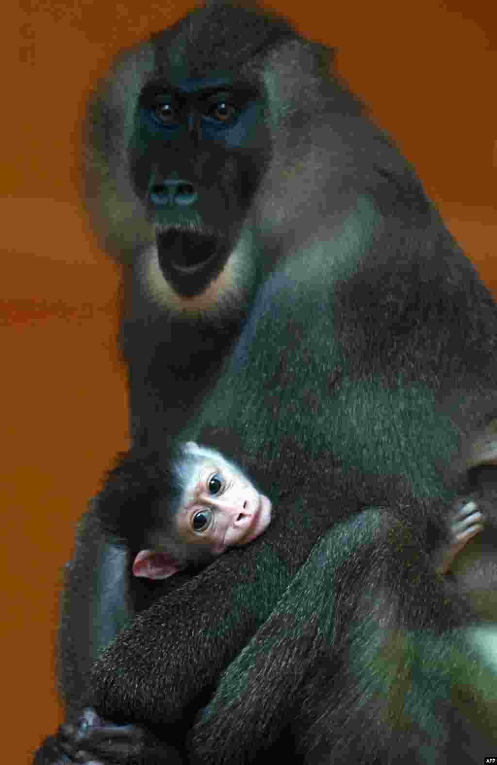 عکسی از یک بچه میمون سه هفته ای در آغوش مادرش در یک باغ وحش در مونیخ آلمان