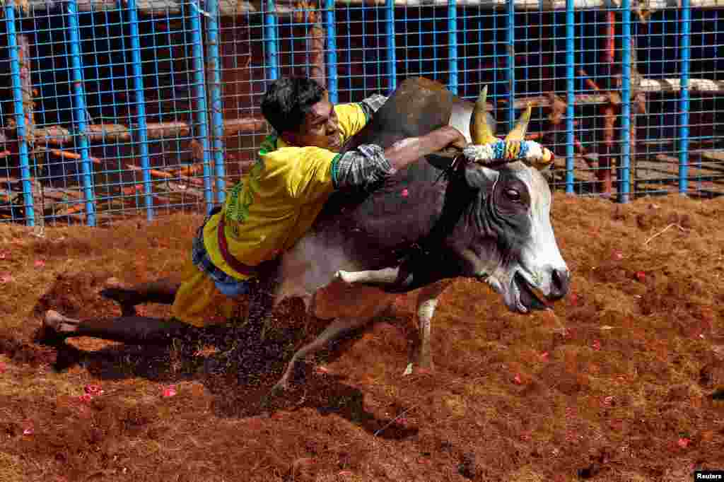 A villager tries to control a bull during a bull-taming festival, which is part of south India's harvest festival of Pongal, on the outskirts of Madurai town, in the southern Indian state of Tamil Nadu.
