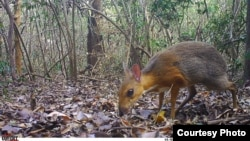 Photo of a silver-backed chevrotain. (Southern Institute of Ecology/Global Wildlife Conservation/Leibniz Institute for Zoo and Wildlife Research/NCNP)