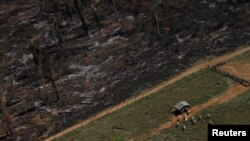FILE - Cows graze on deforested Amazon rainforest next to another tract recently cleared and burned near the city of Novo Progresso, Brazil, in 2013.