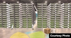 AeroFarmsFarmInteriorGrowingRoom - At 70,000 square feet, AeroFarms global headquarters in Newark can harvest up to two million pounds of leafy greens per year, May 20, 2016. (Courtesy: AeroFarms)