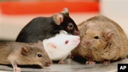 File - Researchers have successfully planted false memories in laboratory mice.
