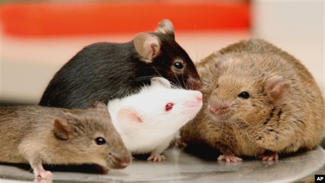 Oak Ridge National Laboratory shows four different breeds of lab mice that are being crossbred into a new large population of mice intended to mimic genetic diversity, at the Oak Ridge National Laboratory in Oak Ridge, Tennesse, Feb. 2007.