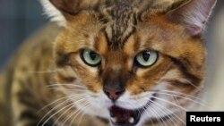 Los estudios sugieren que los gatos son la principal amenaza para la vida silvestre en EE.UU.