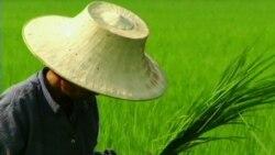 Рис опасен для здоровья?