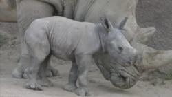 San Diego Zoo Welcomes Endangered Baby Rhino