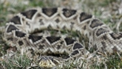 An eastern diamondback rattlesnake at the home of Chuck Hurd, a Virginia man who collects poisonous snakes