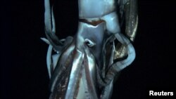 A giant squid is seen in this still image taken from video captured from a submersible by a Japanese-led team of scientists near Ogasawara islands taken in July 2012, in this handout picture released by NHK/NEP/Discovery Channel in Tokyo, Japan, January 7