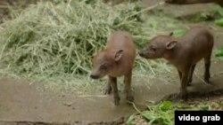 Hai con lợn hươu Sulawesi khám phá thế giới mới tại Vườn thú San Diego.