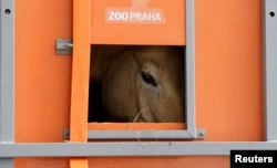 A Przewalski's horse peers out of a container on the way to Takhin Tal National Park, part of the Great Gobi B Strictly Protected Area, in southwest Mongolia, June 20, 2017.
