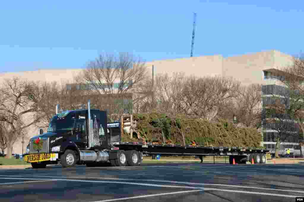 这棵来自明尼苏达州的圣诞树21号到达华盛顿(美国之音杨晨拍摄)