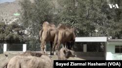 د کابل ژوبڼ کې اوښان