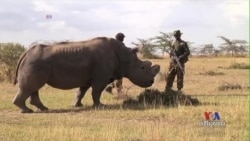 Scientists Test Different Ways for Saving Rhinos