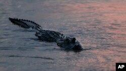 Foto bertanggal 3 Oktober 2018 ini memperlihatkan hewan sejenis buaya yang disebut alligator tampak mengapung menjelang senja hari di Davis Pond Diversion, Luling, Louisiana (foto: AP Photo/Gerald Herbert)