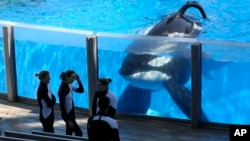 Killer whale Tilikum, right, watches as SeaWorld Orlando trainers take a break during a training session at the theme park's Shamu Stadium in Orlando, Fla. SeaWorld officials say the killer whale responsible for the death of a trainer is very sick, in this Monday, March 7, 2011, file photo. (AP Photo/Phelan M. Ebenhack)