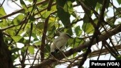 Burung Jalak Bali yang hidup di alam liar kawasan Taman Nasional Bali Barat (Foto: VOA/ Petrus)