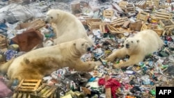 Polar bears feed at a garbage dump near the village of Belushya Guba, Oct. 31, 2018.