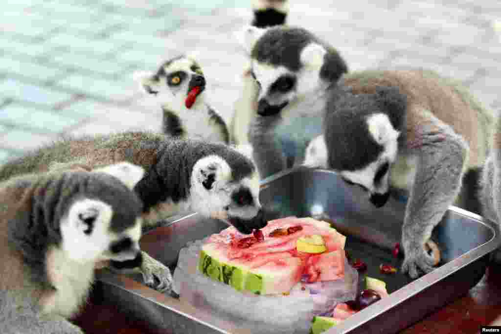 Ring-tailed lemurs eat a slice of watermelon on ice during the hot weather, at a zoo in Changzhou, Jiangsu province, China, July 18, 2018.