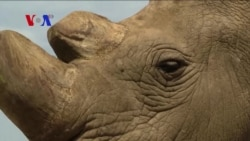 Last Male Northern White Rhino Protected from Poachers